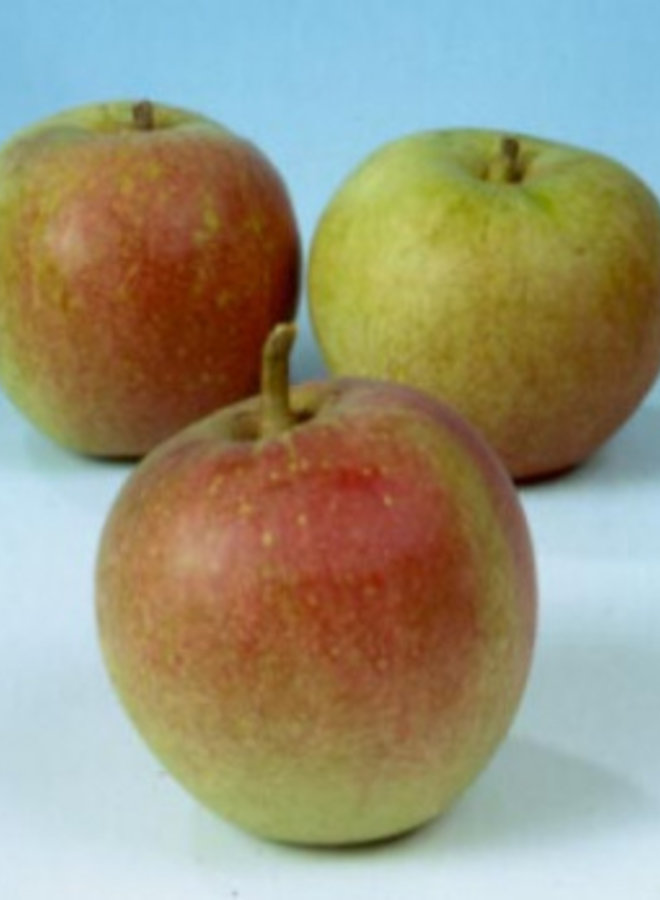 Appelboom | Malus domestica Laxton's Superb