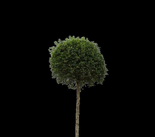 Groenblijvende bomen