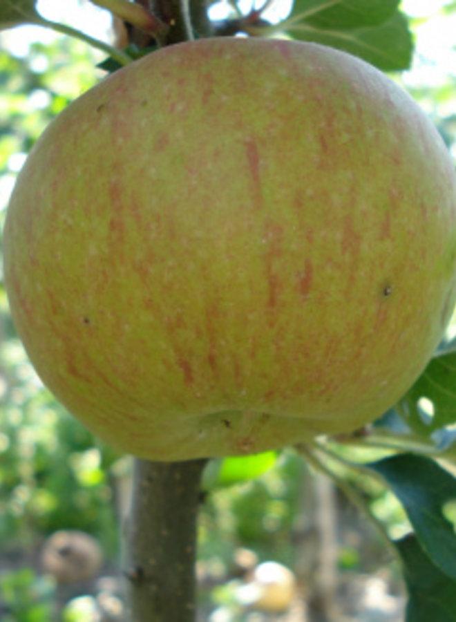 Appelboom | Malus domestica Lena