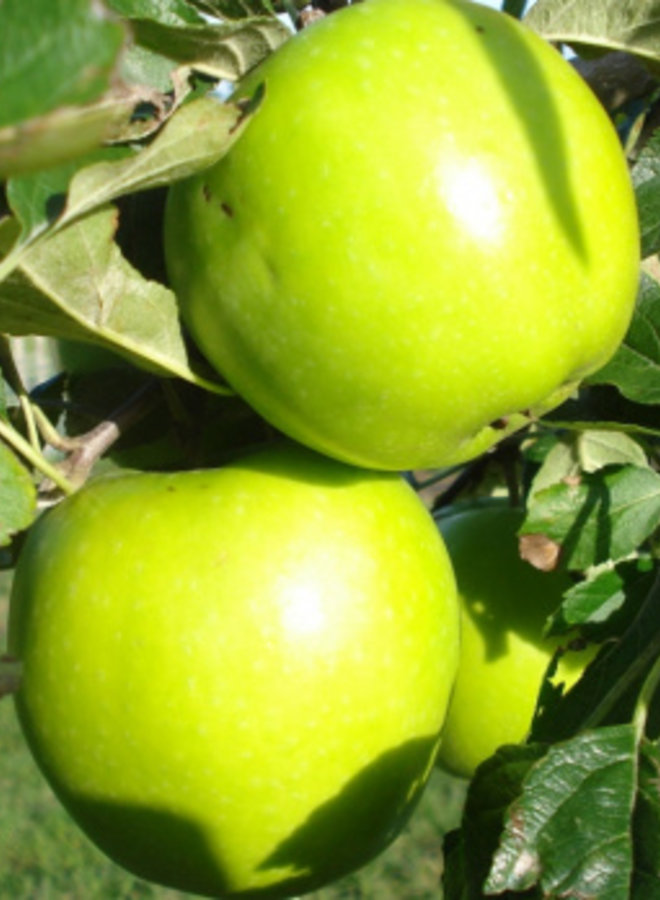 Appelboom | Malus domestica Lombarts Calville