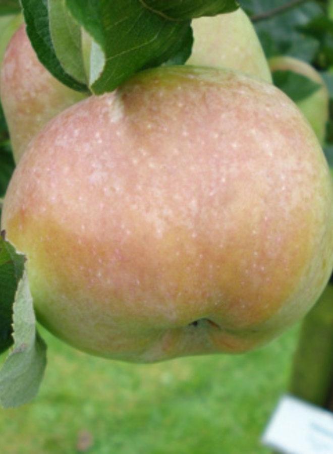 Appelboom | Malus domestica Ontarioappel