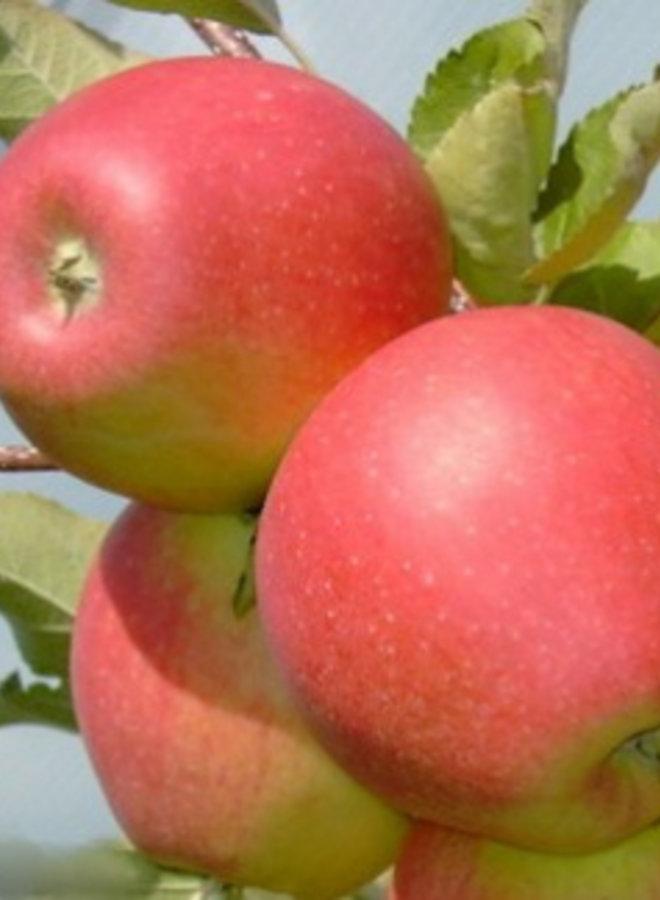 Appelboom | Malus domestica Pinova