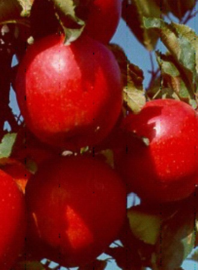 Appelboom | Malus domestica Rajka