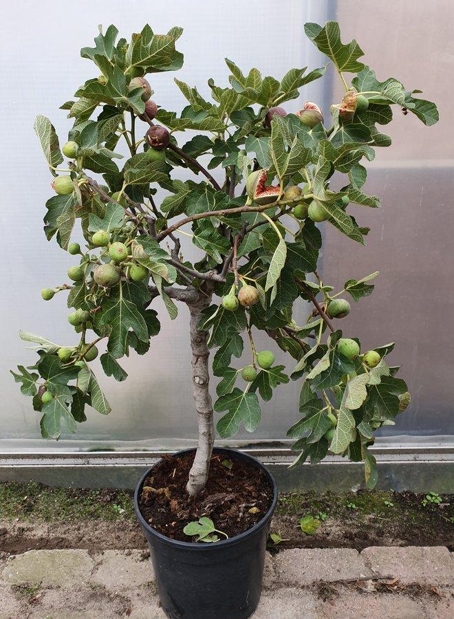 Vijgenboom | Ficus Carica
