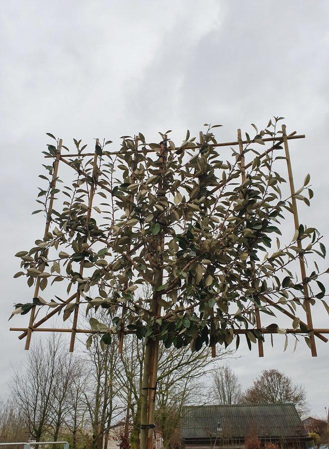 Lei-olijfwilg | Elaeagnus ebbingei