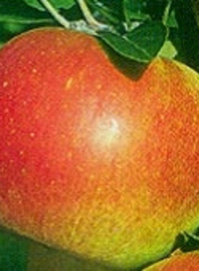 Appelboom | Malus domestica Roda Mantet