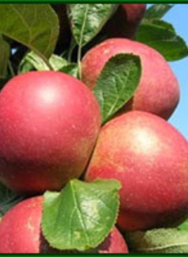 Appelboom | Malus domestica Rode Boskoop Schmitz Hubsch