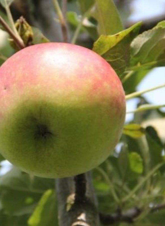 Appelboom | Malus domestica Rode Dijkmanszoet