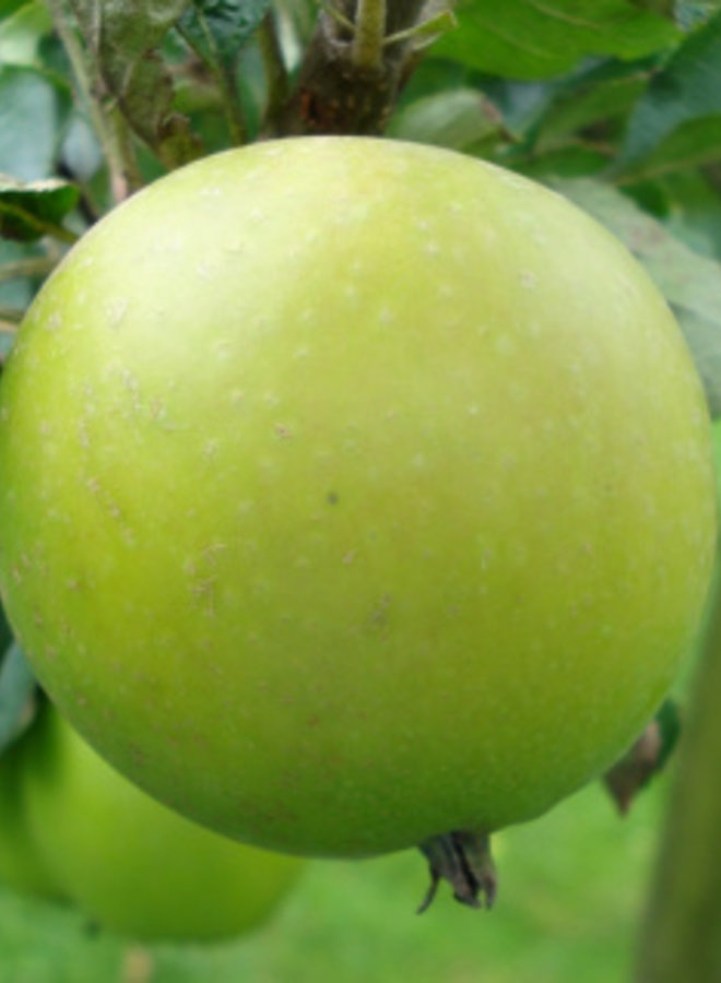 Appelboom | Malus domestica Roter Ananas Reinette