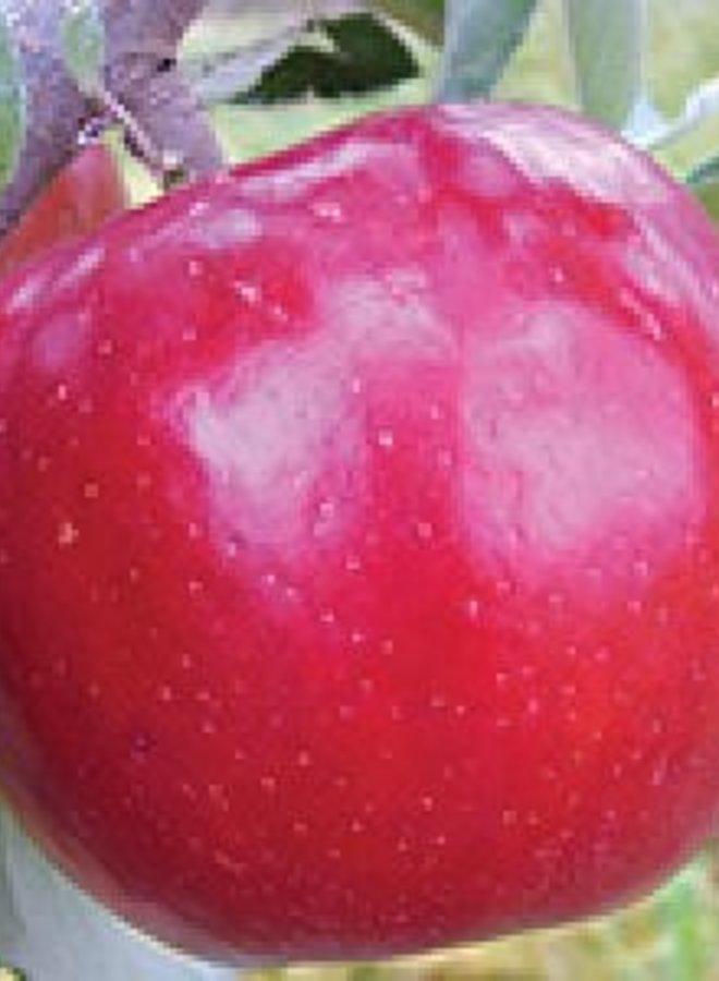 Appelboom - Malus domestica Rubinstar