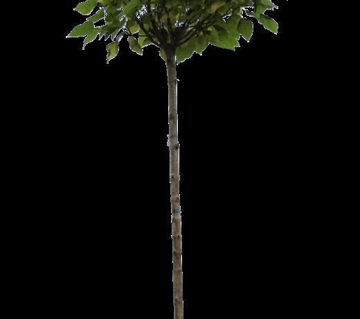 Trompetbomen