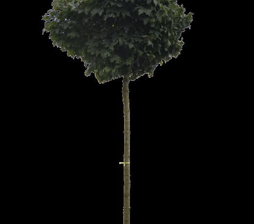 Esdoorn bomen
