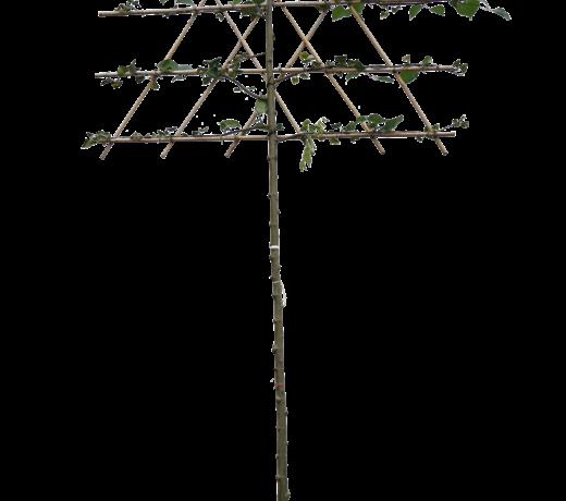 Linde bomen