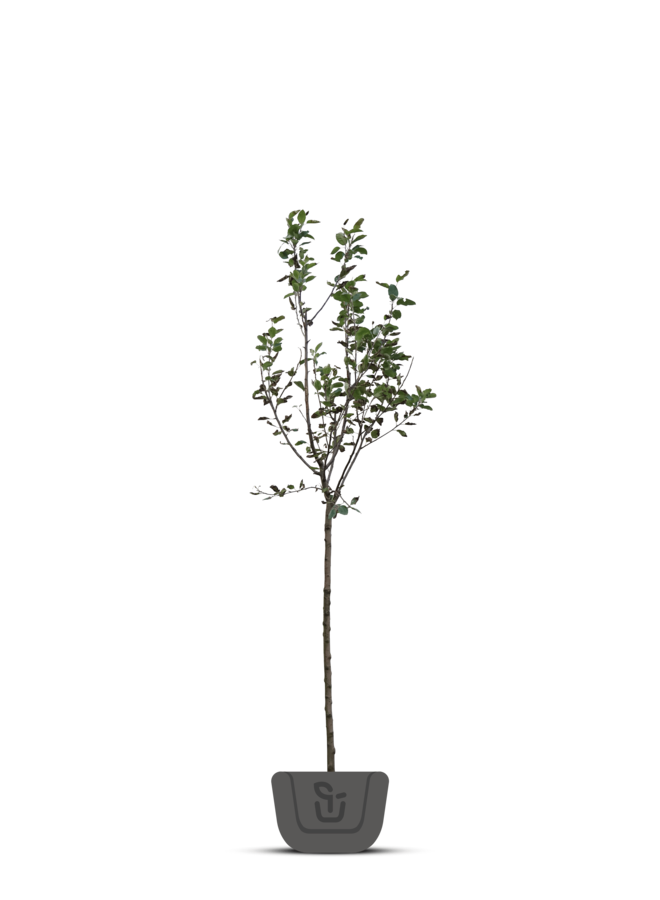 Appelboom - Malus domestica Lombarts Calville