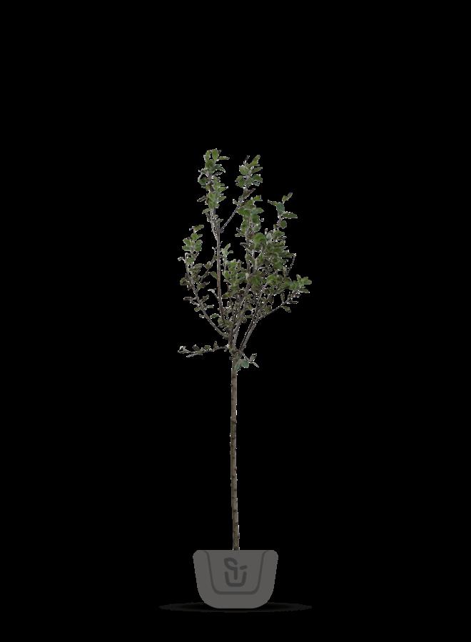 Appelboom - Malus domestica Sijden Hempje
