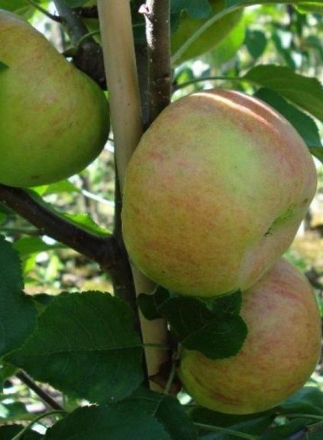 Appelboom | Malus domestica Topaz