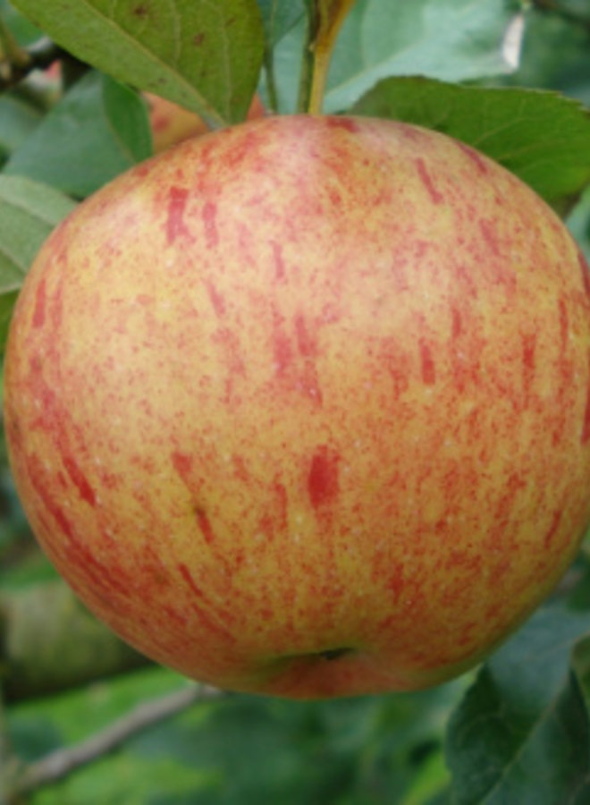 Appelboom | Malus domestica Zoete Kroon