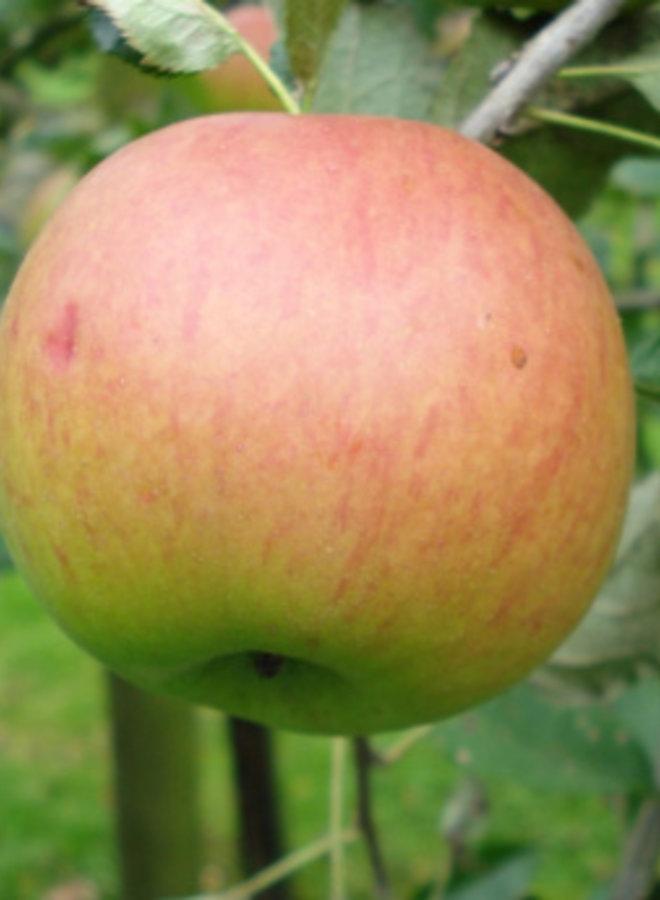 Appelboom - Malus domestica Zoete Oranje