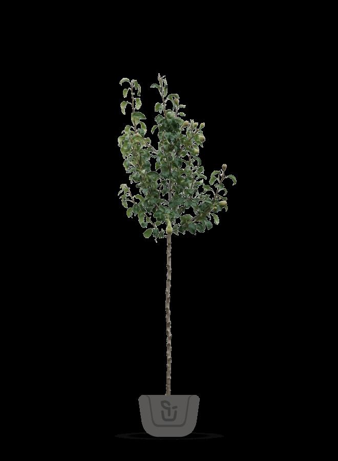 Perenboom - Pyrus communis Bloedpeer