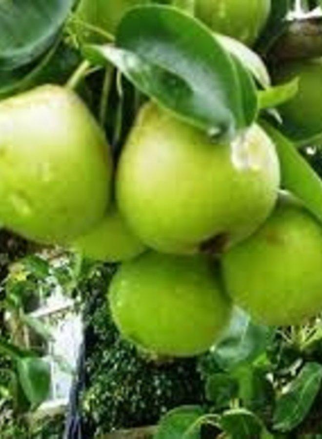 Perenboom | Pyrus communis Noorhollandse Suikerpeer