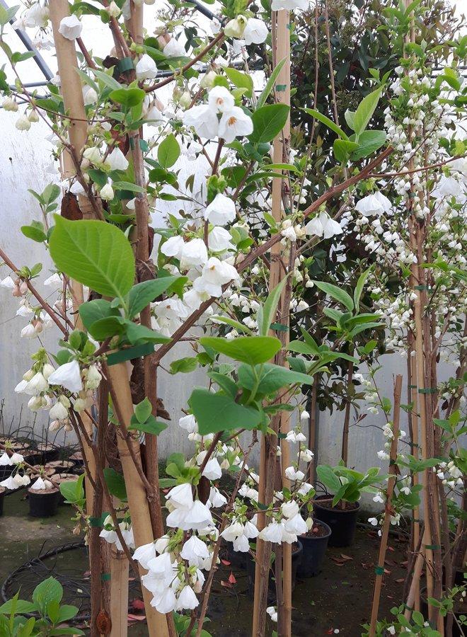 Sneeuwklokjesboom   Halesia carolina   meerstammig