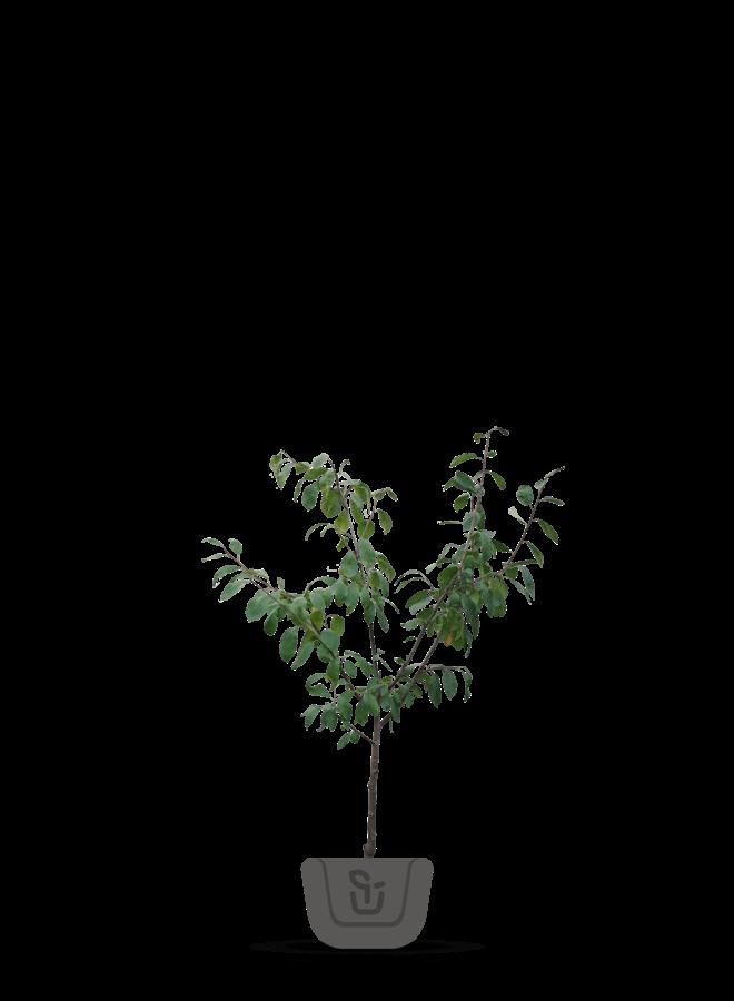 Pruimenboom | Prunus domestica Dubbele Boerenwitte