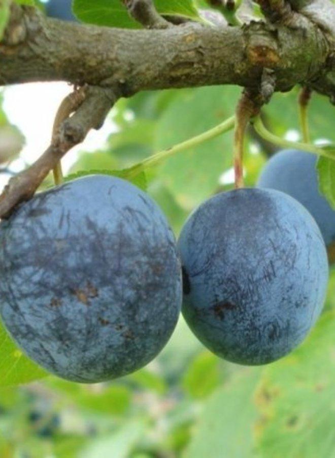 Pruimenboom | Prunus domestica Early Prolific