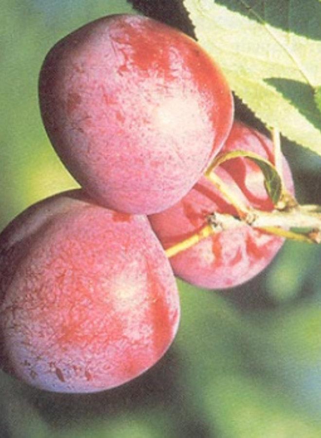 Pruimenboom - Prunus domestica Excalibur