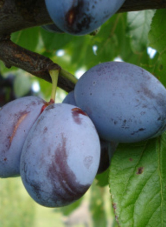 Pruimenboom   Prunus domestica Italiaanse Kwets