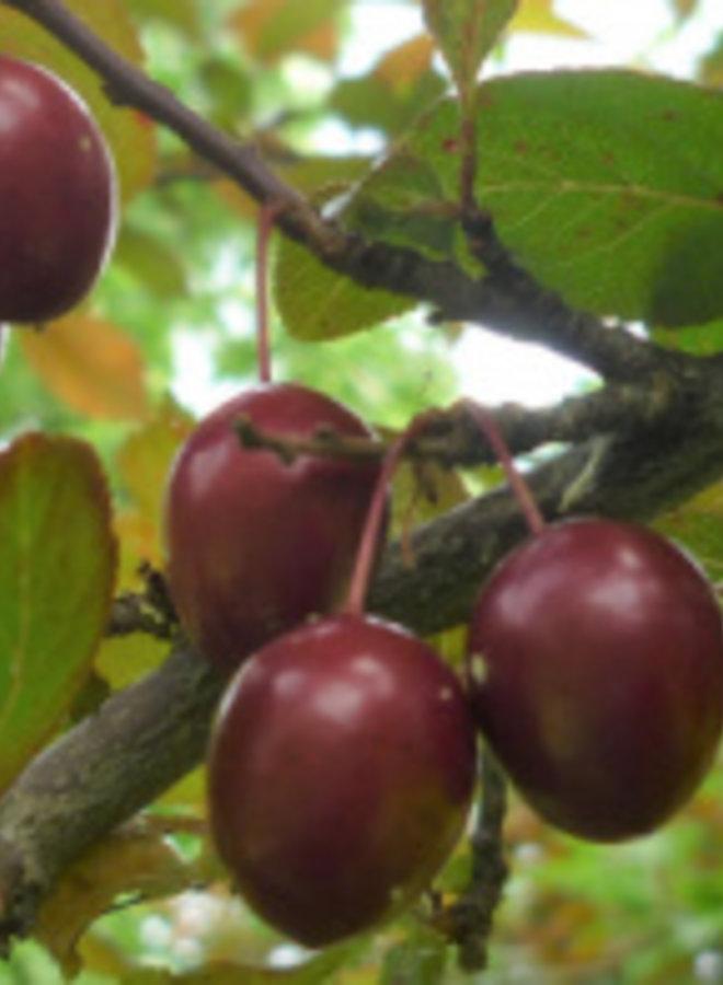 Pruimenboom | Prunus domestica Kroos Pearl Beauty