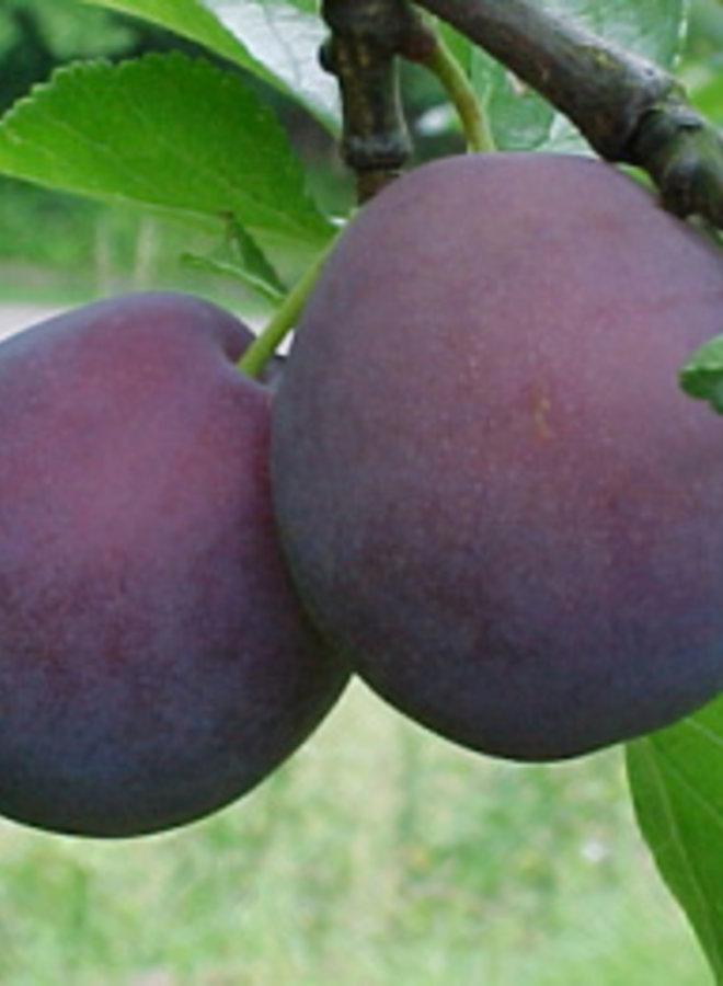 Pruimenboom | Prunus domestica Monsieur Hatif