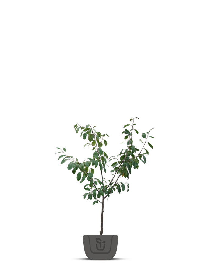 Pruimenboom - Prunus domestica Ontario