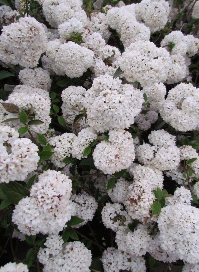 Sneeuwbal - Viburnum tinus op stam