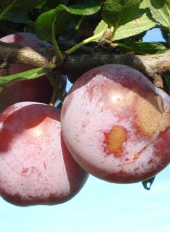 Pruimenboom - Prunus domestica Reine Claude d' Althan