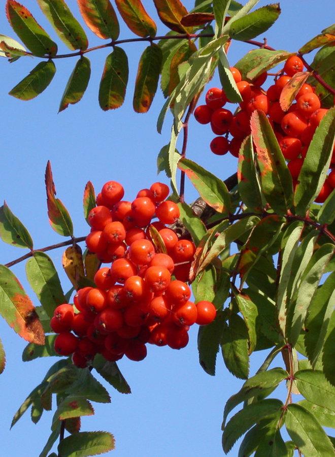 Lijsterbes - Sorbus aucuparia