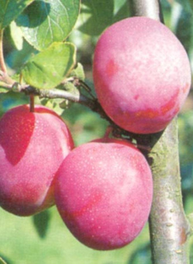 Pruimenboom |  Prunus domestica Victoria