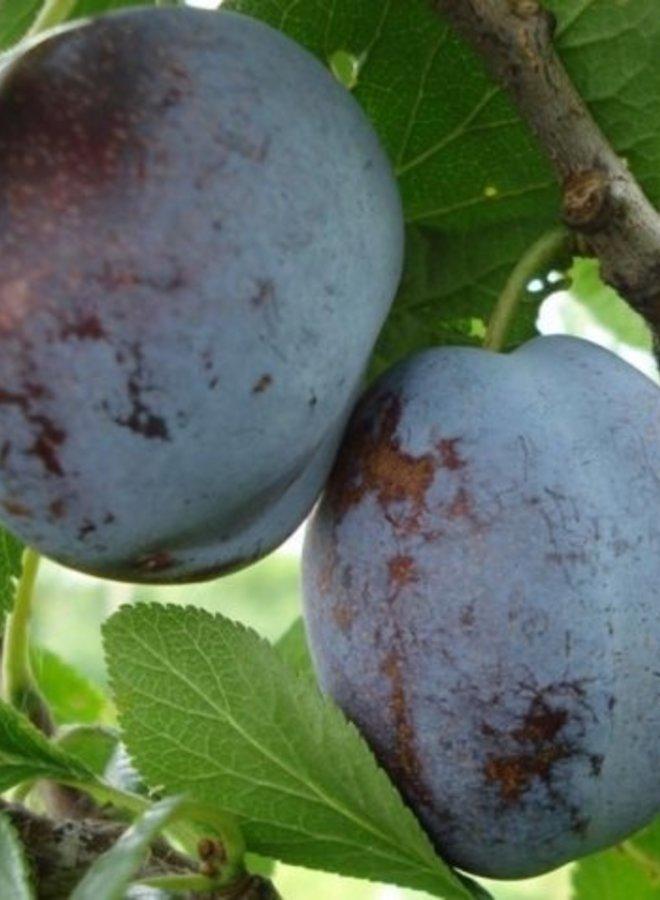 Pruimenboom | Prunus domestica Voyageur
