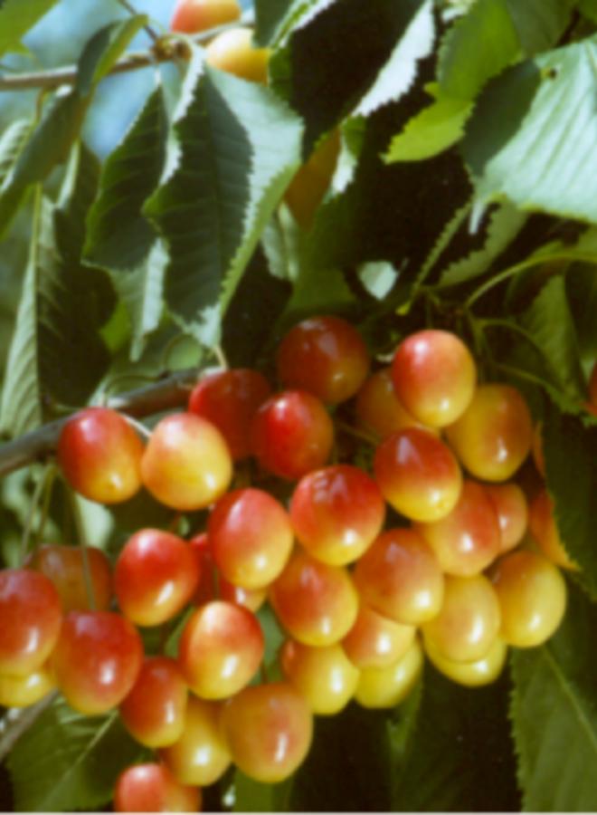 Kersenboom | Prunus avium Bigarreau Napoleon