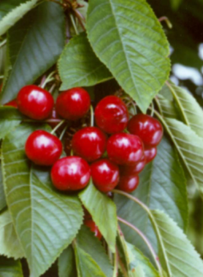 Kersenboom - Prunus avium Castor