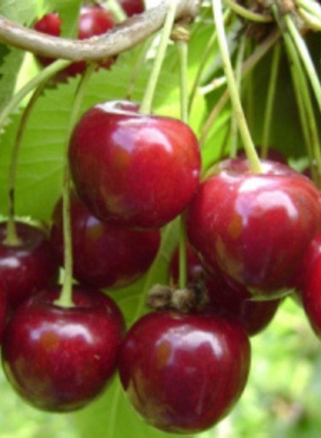Kersenboom | Prunus avium Hedelfinger
