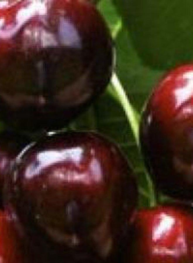 Kersenboom | Prunus avium Hertford