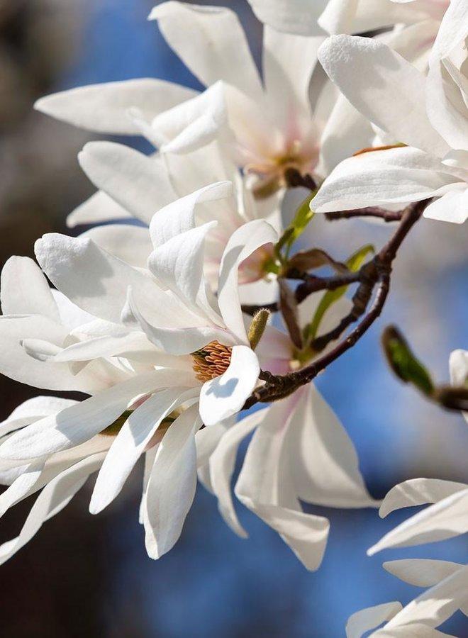 Beverboom - Magnolia Kobus