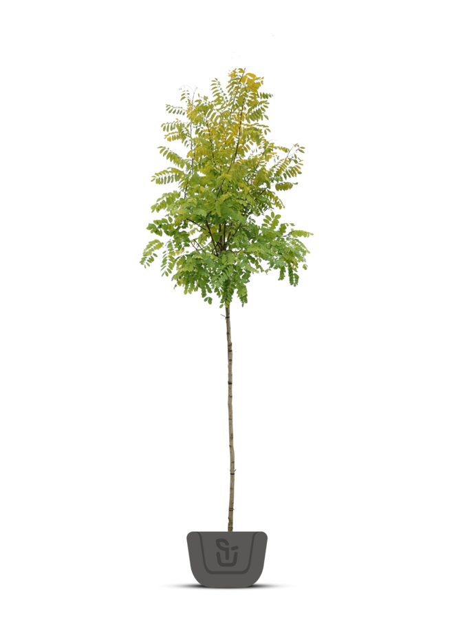 Gele Acacia - Robinia pseudoacacia Frisia