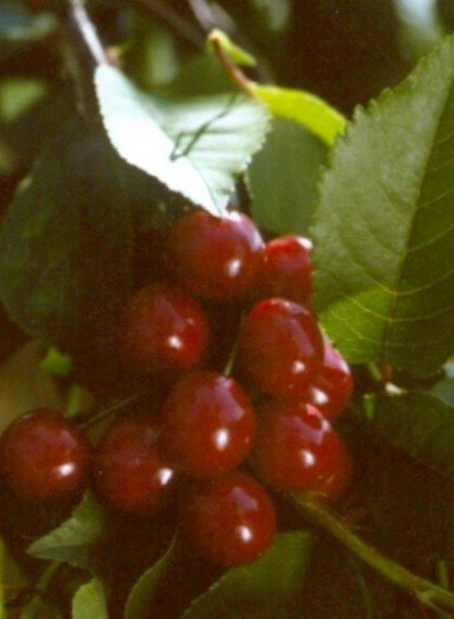 Kersenboom - Prunus avium Inspecteur Lohnis