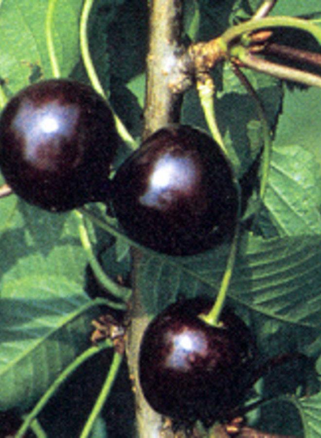 Kersenboom | Prunus avium Karina
