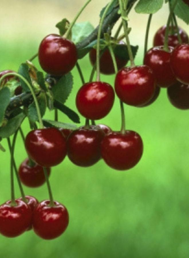 Kersenboom - Prunus avium Kelleriis Nr.16