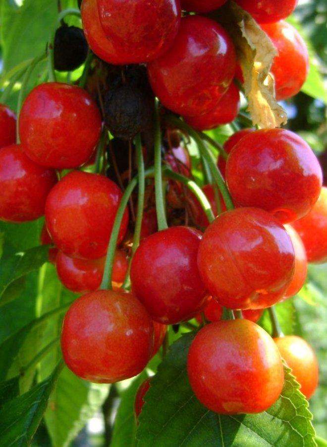 Kersenboom | Prunus avium Morel