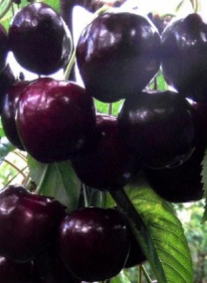 Kersenboom - Prunus avium Octavia