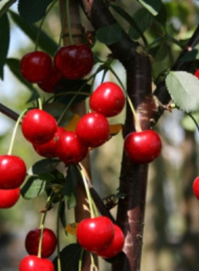 Kersenboom | Prunus avium Rhein. Schattenmorelle
