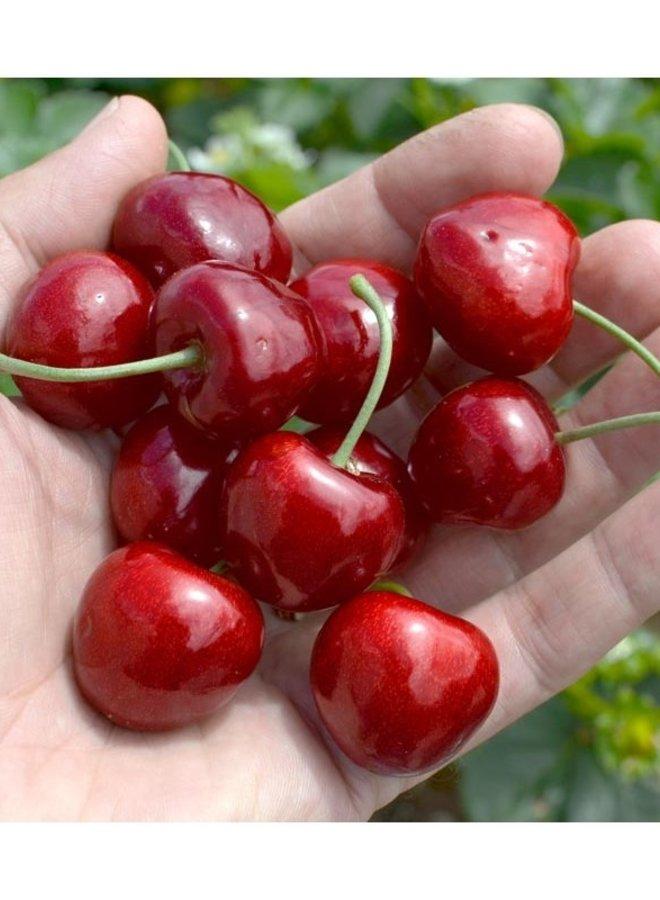 Kersenboom - Prunus avium Samba
